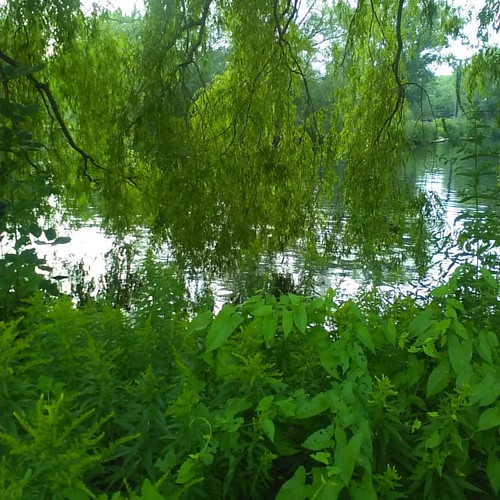 Weeping willows and water #toronto #torontoislands #trees #weepingwillows