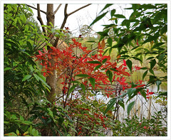 Red leaves of a Nandina's new growth. [Wilson Botanic Park in Berwick]