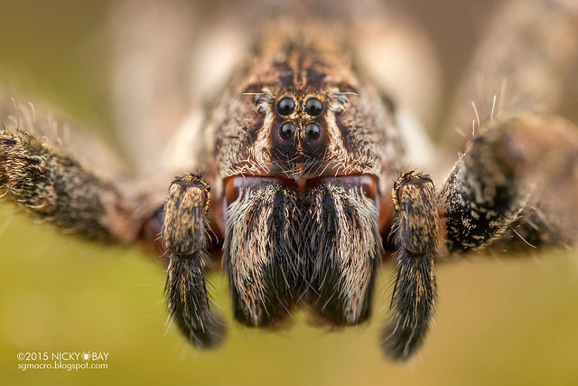Wandering spider (Enoploctenus sp.) - DSC_1329