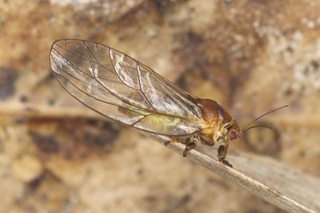 Triozidae??