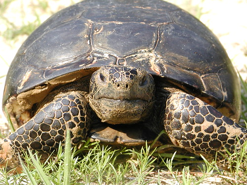 A gopher tortoise in the Coastal Headwaters Forest