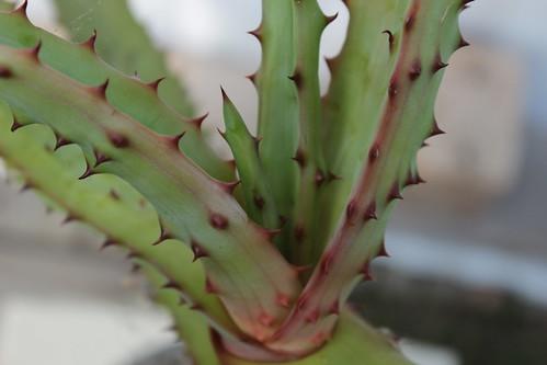 Aloe excelsa 21465336554_32ecdafacc