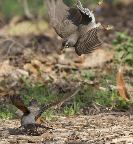 bird fighting americanrobin turdusmigratorius
