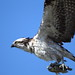 Osprey with catch by charlescpan
