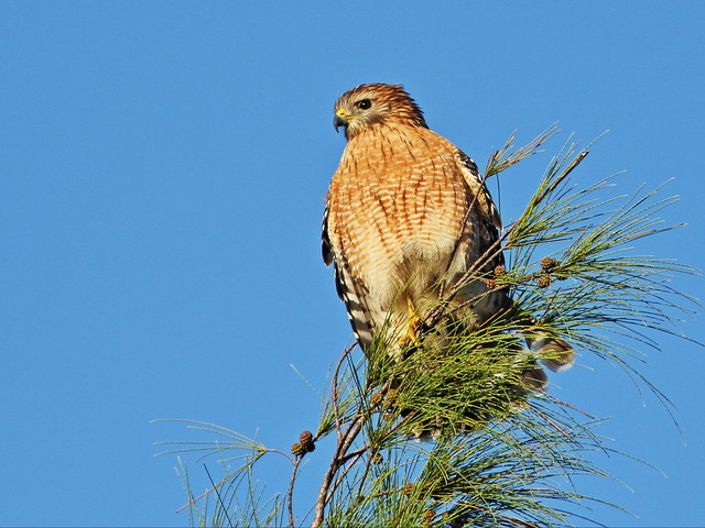 Red-shouldered hawk 01-20151112