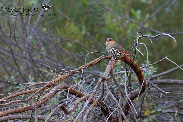 Red-eared Firetail (Stagonopleura oculata)