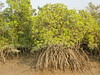 Garjan tree