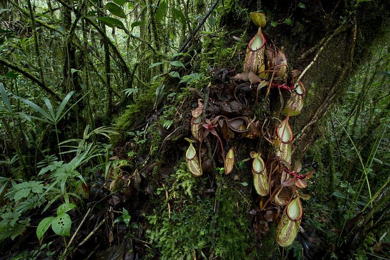 Carnivores et orchidées in situ  - Page 2 23253652351_9243062511_c