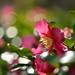 Camellia sasanqua by myu-myu