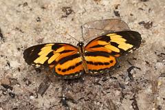 Butterflies - Worldwide