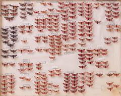 Lepidoptera Zygaenidae