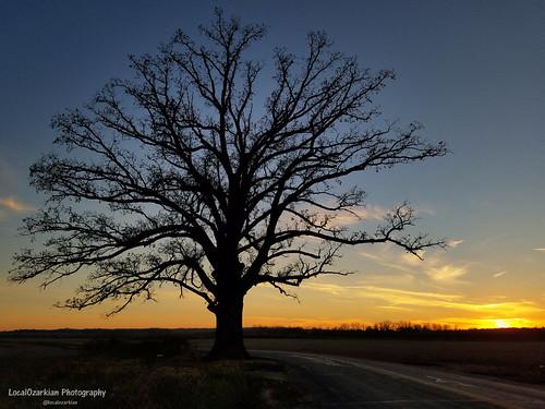 columbiamissouri centralmissouri missouri midwest tree oaktree biggestburroaktree burroaktree sunset