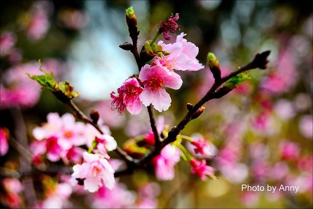 麗池櫻花28