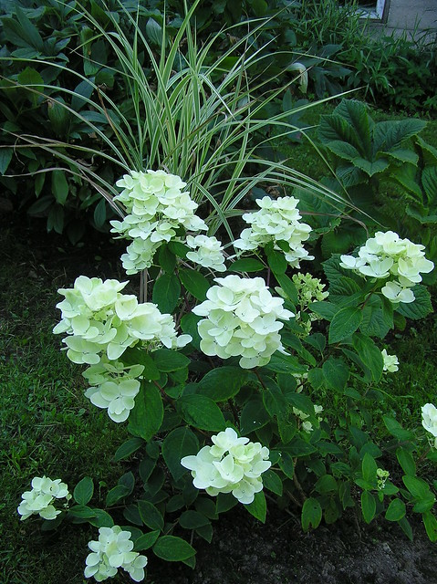 hydrangea paniculata 'White Diamonds'