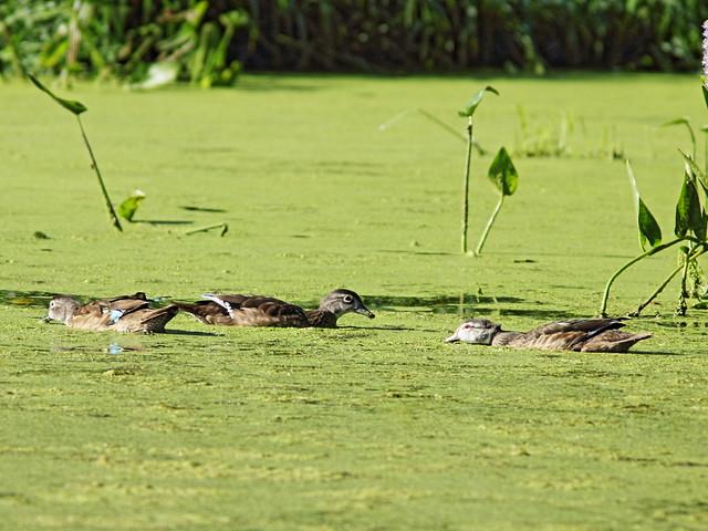 Wood Ducks immature 20150913