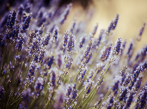 detail of lavender
