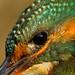 Guarda-rios | Alcedo atthis | Kingfisher by JosBar