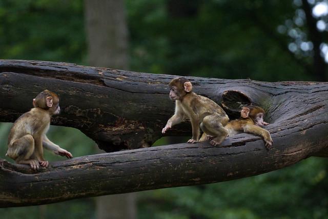 tres banditos, pt.22 - 3 monkey babies - Barbary Macaques - Berberaffen