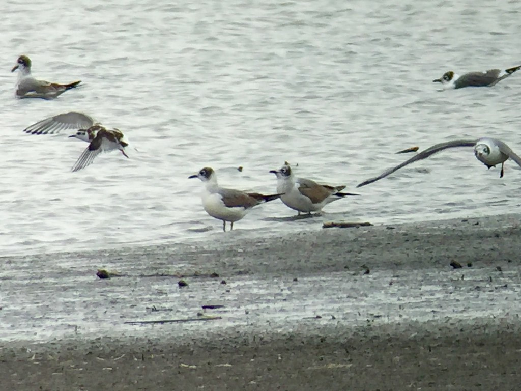 Little Gull & Franklin's Gull Cheyenne Bottoms KS