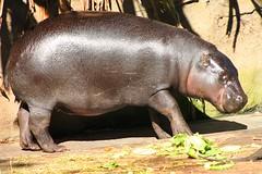 Taronga Zoo - Pygmy Hippopotamus