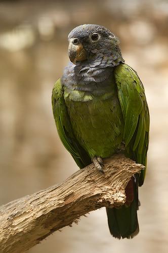 Pionus menstruus - Blue-headed Parrot