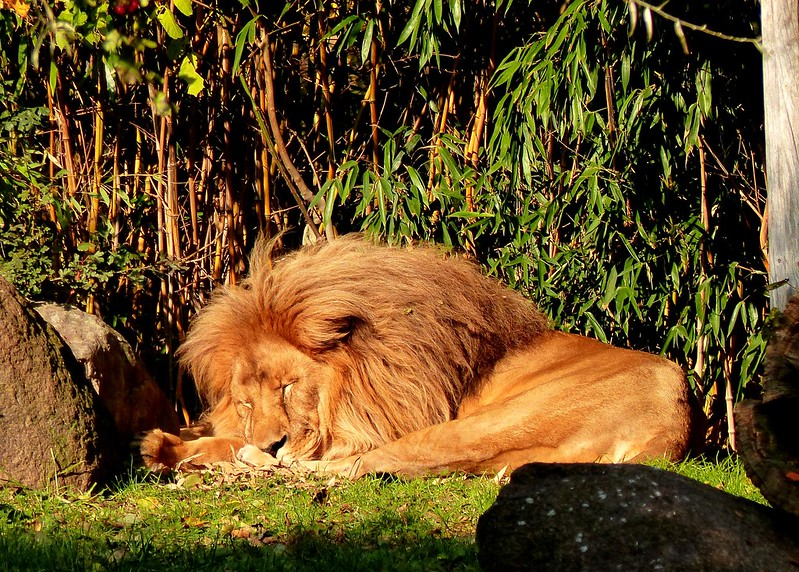 The Lion Sleeps (Tonight) In The Morning ;-)