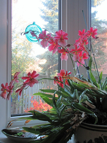 November oncidium orchid blooming in morning light