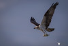 Osprey by Chasing Photons