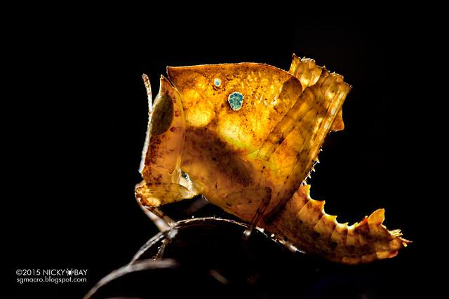 Dead leaf grasshopper nymph (Chorotypus sp.) - ESC_0097