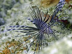 lionfish 3