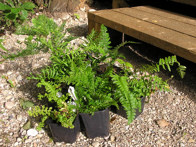 New ferns for Woodland Bed