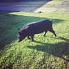 Finally got up close and personal with the pig that lives in our street. Very friendly :pig::grinning: