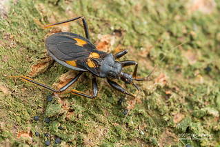 Assassin bug (Reduviidae) - DSC_9021