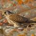 Peneireiro das torres, Lesser kestrel (Falco naumanni)  - em Liberdade [WildLife] by xanirish