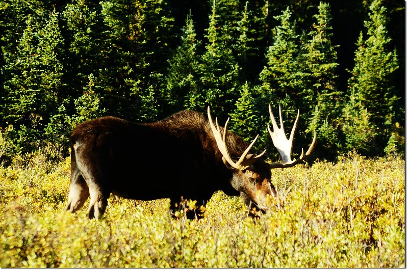 Moose at Brainard Lake (67)