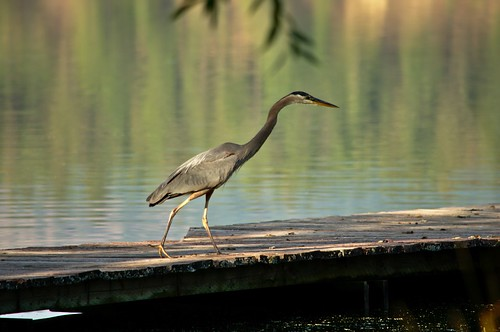 Blue Heron on the Hunt for Lunch on a lakeshore dock