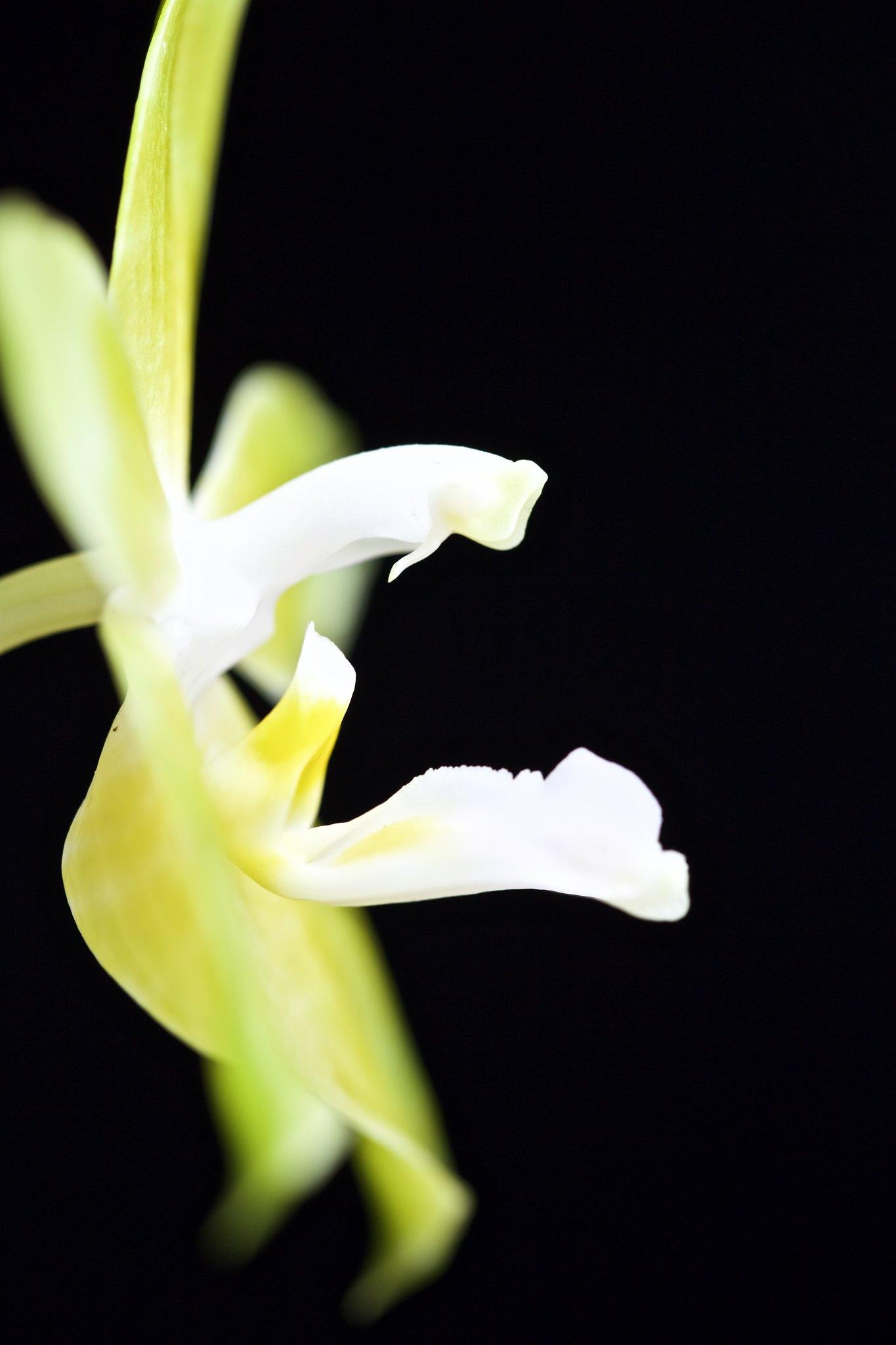 Phalaenopsis Princess Kaiulani alba 21649458149_2943ebd808_k