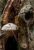 Fungus inside tree @ Hilverbeek by PaulHoo
