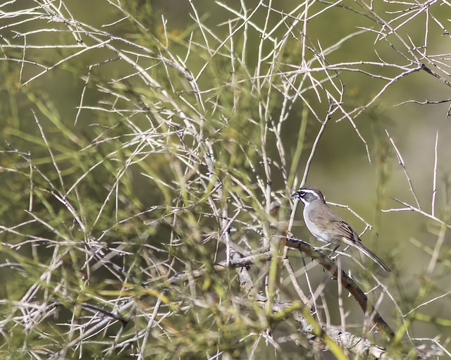 Black-throated Sparrow  7D2_0007