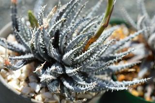 DSC_1030 Aloe florenceae