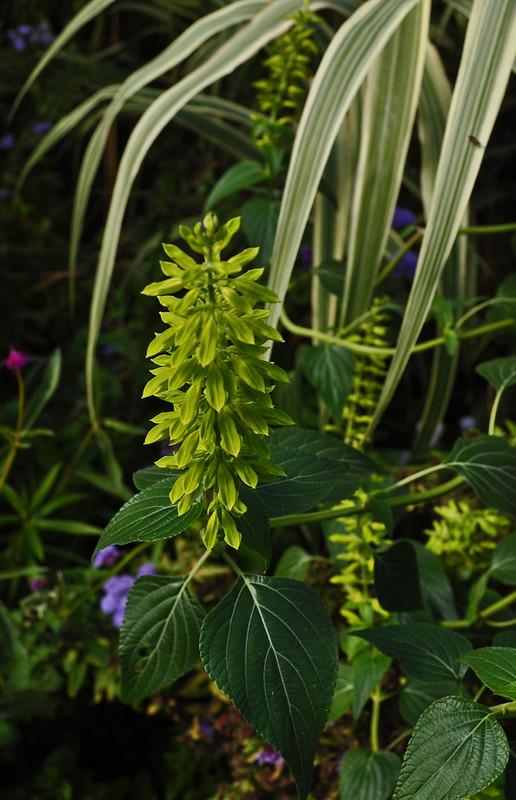Salvia mexicana 'Limelight' (Cut FLower Garden)