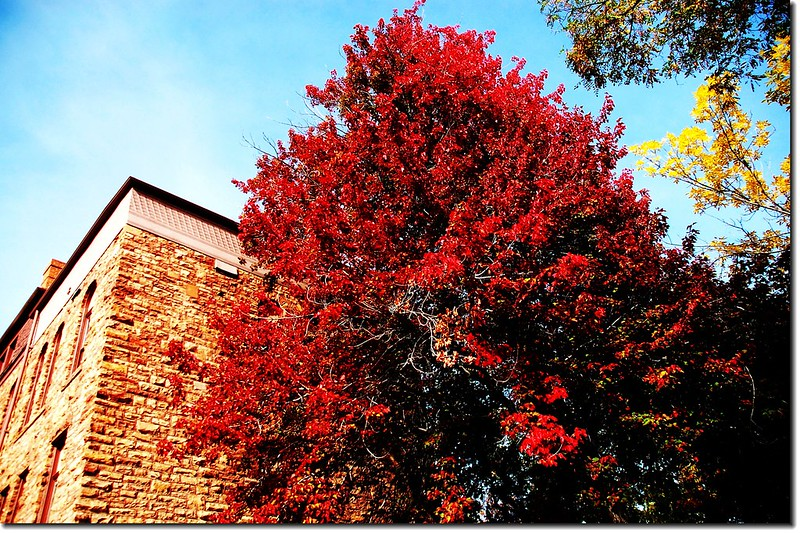 Red Maple in Mapleton, Boulder 3