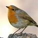 European Robin by michael.smith86