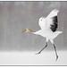 'The dance of the crane …..', genieten van de kraanvogels (juveniel) in Hokkaido …. by Martha de Jong-Lantink