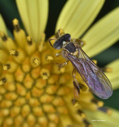 Apidae>> Apinae>> Meliponini>> Tetragona