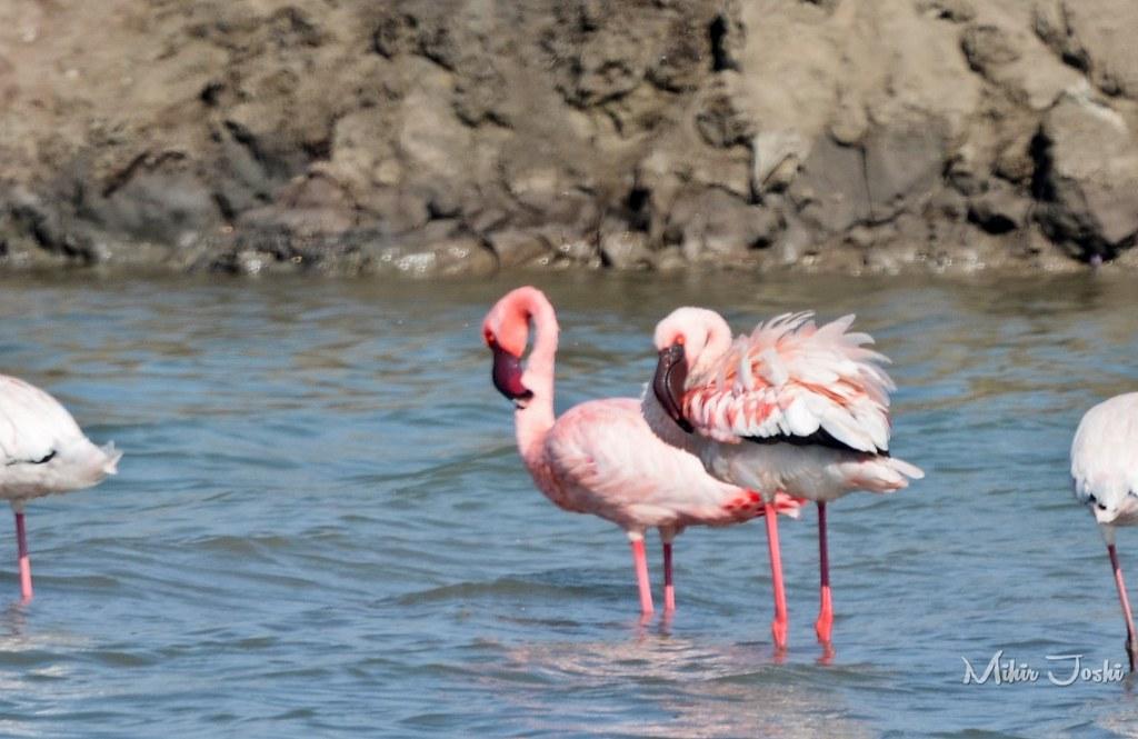 Lesser Flamingo [Flamenco Enano]