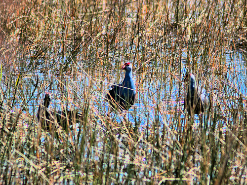 Gray headed - Purple Swamphens 20170316