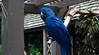 Blue Macaw by Jenny C.