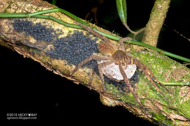 Wandering spider (Phoneutria sp.) - DSC_3953