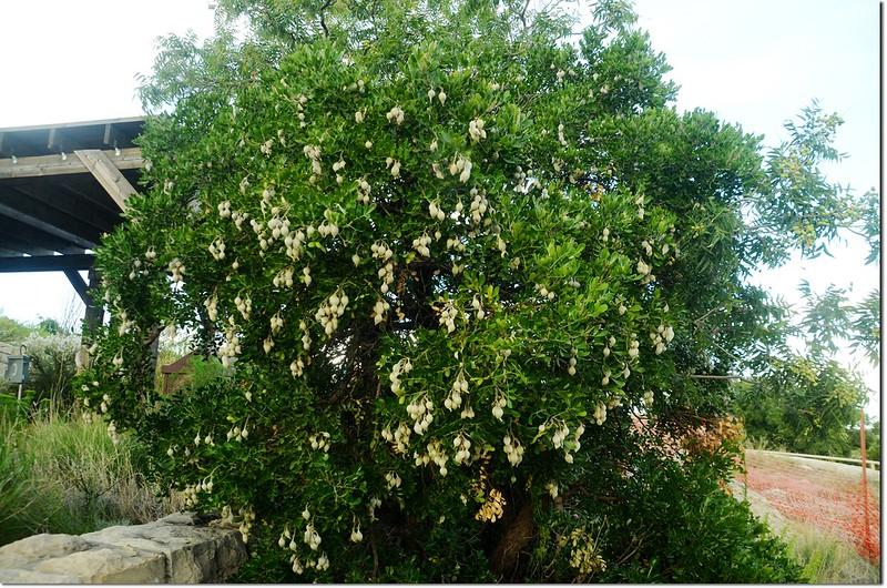 Mescal Bean Tree